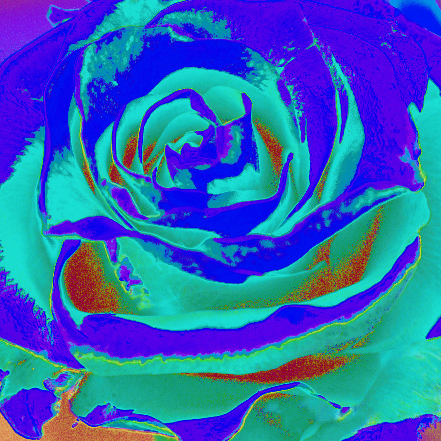 Salad as a rose II./ Šalát ako ruža II.